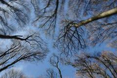 Alberi alti contro un cielo blu con le nubi Fotografia Stock Libera da Diritti