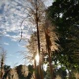 Alberi alti di verde del cielo blu dell'erba Immagini Stock