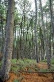 Alberi alti in foresta Immagini Stock
