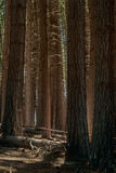 Alberi alti nel legno Fotografia Stock Libera da Diritti