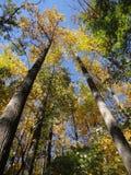 Alberi alti nella foresta di autunno Fotografia Stock Libera da Diritti