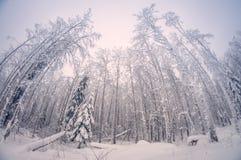 Alberi alti nevosi di inverno nella foresta, quando la neve cadrebbe, distorsione dell'occhio di pesce fotografia stock libera da diritti