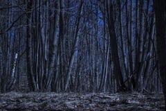 Alberi alti sotto il cielo blu scuro nella foresta di notte Fotografia Stock