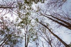Alberi alti in una foresta asciutta con il fondo del cielo nuvoloso Fotografie Stock Libere da Diritti