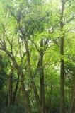 Alberi alti verdi di rinfresco Fotografia Stock Libera da Diritti