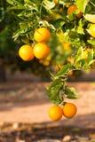 Alberi arancio di Valencia Fotografia Stock Libera da Diritti