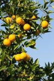 Alberi arancio di Valencia Fotografia Stock