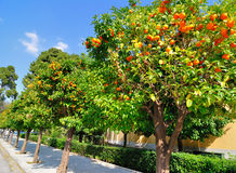 Alberi arancioni Fotografie Stock