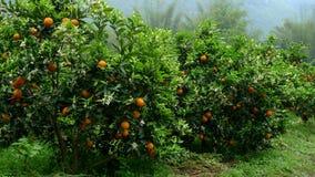 Alberi arancioni Fotografia Stock