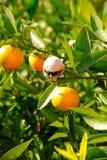 Alberi arancioni con la frutta Fotografia Stock