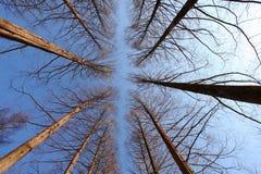 Alberi asciutti con cielo blu Fotografie Stock Libere da Diritti