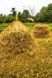 Alberi asciutti del riso all'azienda agricola del riso Fotografia Stock Libera da Diritti