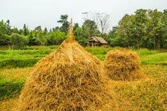 Alberi asciutti del riso all'azienda agricola del riso Fotografia Stock
