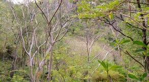 Alberi asciutti della foresta in Tailandia Fotografie Stock