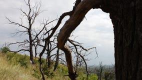 Alberi asciutti morti nella fucilazione della foresta con un carrello del cursore Le curve dei rami degli alberi intrecciano Albe archivi video