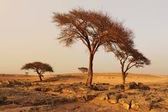 Alberi asciutti sul deserto dopo tempesta di sabbia Immagine Stock
