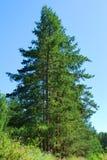 alberi attillati Fotografia Stock