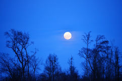 Alberi in aumento della siluetta e della luna piena Fotografie Stock