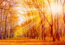 Alberi autunnali del sole del parco Fotografie Stock