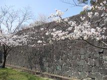 Alberi bianchi del fiore di ciliegia vicino alla parete di pietra Fotografia Stock Libera da Diritti