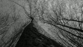 Alberi in bianco e nero Fotografie Stock Libere da Diritti