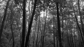 Alberi in bianco e nero Immagini Stock