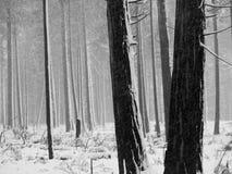 Alberi in bianco e nero dell'Aspen Fotografia Stock