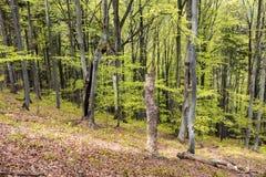 Alberi in bosco verde e frondoso Fotografia Stock