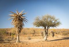 Alberi Botswana Africa Fotografia Stock Libera da Diritti