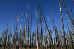 Alberi bruciati Fotografia Stock