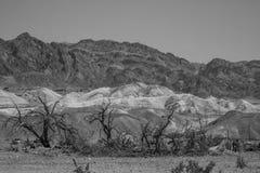 Alberi bruciati davanti alle montagne dorate nel parco nazionale di Death Valley, California Immagine Stock Libera da Diritti
