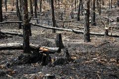 Alberi bruciati in foresta Fotografia Stock