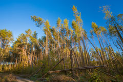 Alberi caduti in Forest After Strong Hurricane Wind conifero Fotografia Stock Libera da Diritti