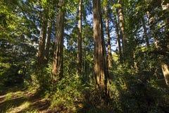 Alberi californiani della sequoia Fotografia Stock Libera da Diritti