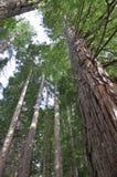 Alberi californiani della sequoia, il Distretto di Rotorua, Nuova Zelanda immagini stock
