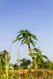Alberi che coltivano mango Fotografie Stock Libere da Diritti