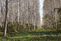 Alberi che crescono nelle file, stagione di caduta Immagine Stock