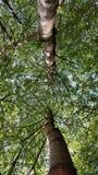 Alberi che osservano in su Fotografie Stock