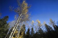 Alberi che raggiungono Skyward in autunno Fotografia Stock