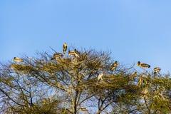 Alberi con gli aironi nel parco nazionale di Keolado Fotografia Stock Libera da Diritti