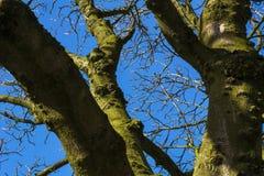 Alberi con i rami nudi sul cielo in autunno fotografie stock libere da diritti