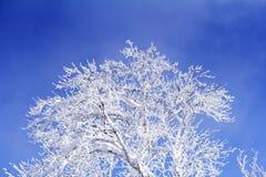 Alberi con i rami pieni del cielo blu del briciolo della neve Fotografie Stock Libere da Diritti