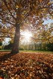 Alberi con le foglie cadute Fotografia Stock Libera da Diritti
