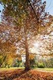 Alberi con le foglie cadute Immagini Stock Libere da Diritti
