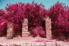 Alberi con le foglie rosa con il fondo del cielo blu fotografia stock