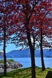 Alberi con le foglie rosse Immagine Stock