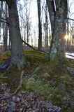 2 alberi con muschio Fotografia Stock Libera da Diritti