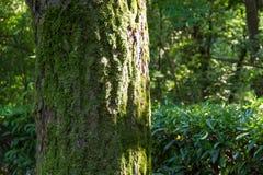 Alberi con muschio Fotografie Stock