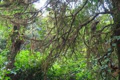 Alberi con muschio nella foresta, cima della montagna Fotografia Stock