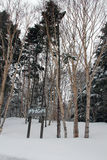 Alberi con neve nell'Hokkaido, Giappone Immagini Stock